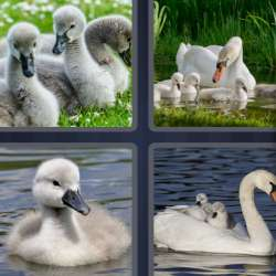 Solutions-4-images-1-mot-CYGNE