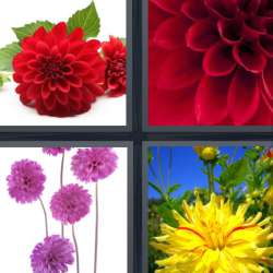 Solutions-4-images-1-mot-DAHLIA