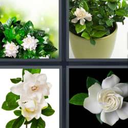 Solutions-4-images-1-mot-GARDENIA