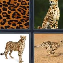 Solutions-4-images-1-mot-GUEPARD