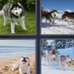 Solutions-4-images-1-mot-HUSKY