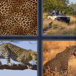 Solutions-4-images-1-mot-LEOPARD