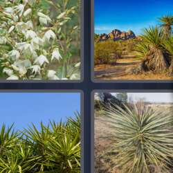 Solutions-4-images-1-mot-YUCCA