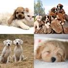 Solutions-4-images-1-mot-CHIOT